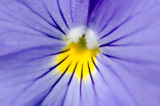 Pale blue pansy abstract