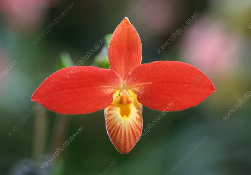 Red slipper orchid
