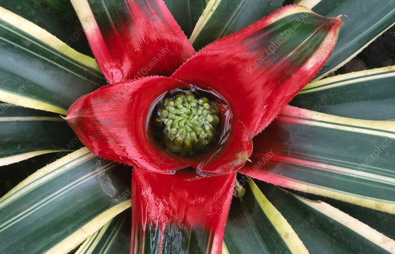 Bromeliad abstract