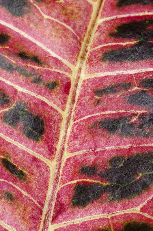 Variegated croton leaf abstract