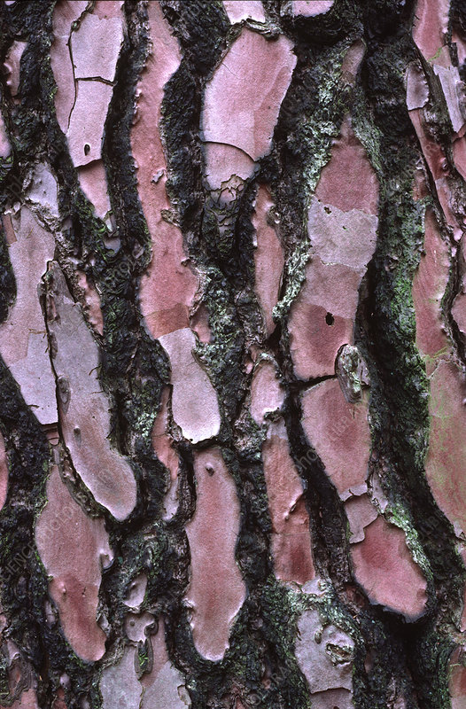 Scots pine bark abstract