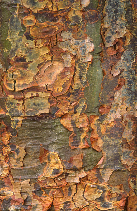 Paper-bark maple abstract