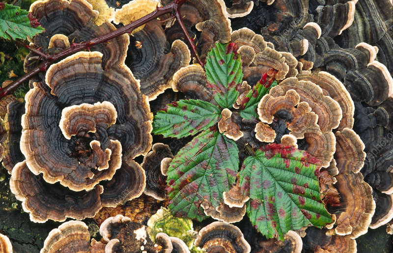 Many-zoned polypore or turkey-tail