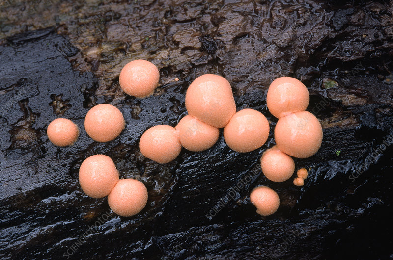 Wolf's milk slime mould