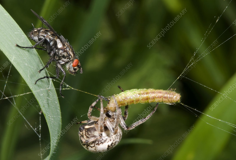 Foliate spider with prey and Flesh fly