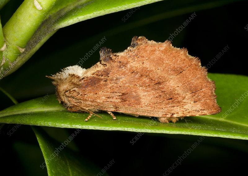 Coxcomb prominent moth