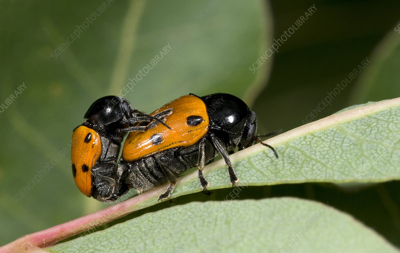 Leaf beetles