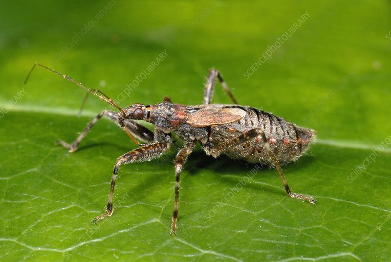 Tree damsel bug