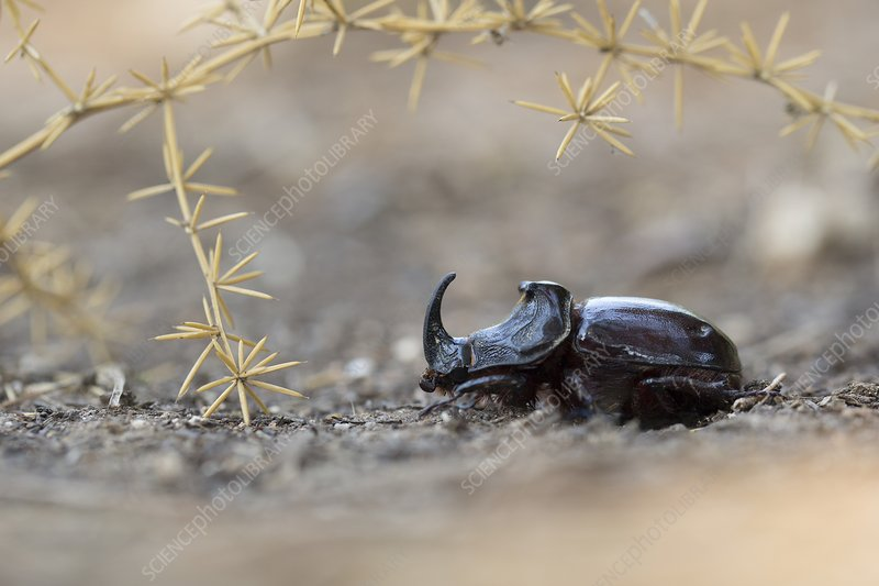 Spanish Dung beetle (Copris hispanus)