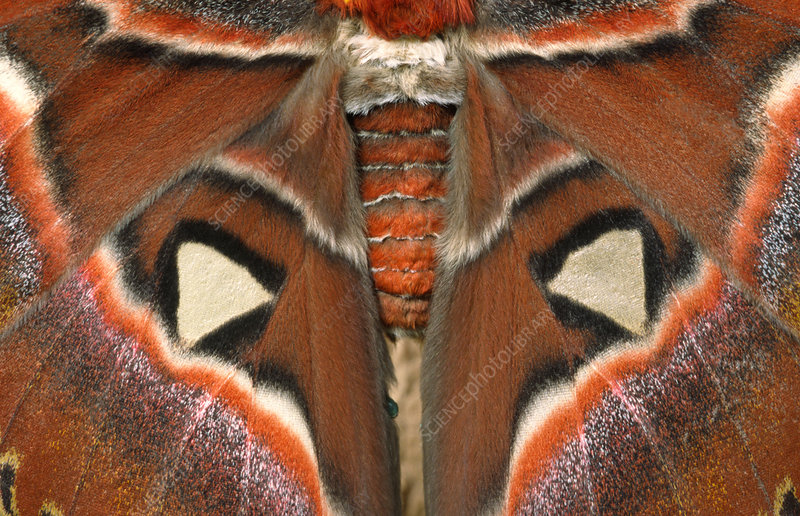 Giant Atlas Moth Stock Image C025 9848 Science Photo
