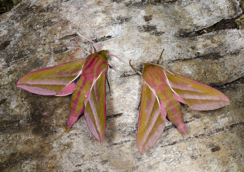 Elephant hawk-moths