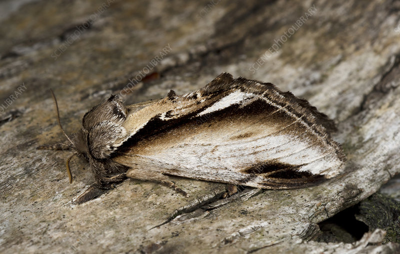 Lesser swallow prominent moth