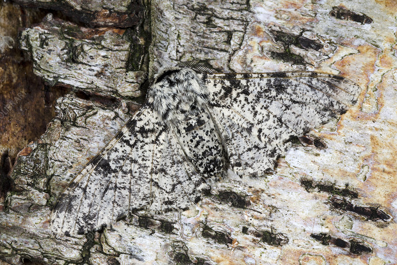 Peppered moth, pale form