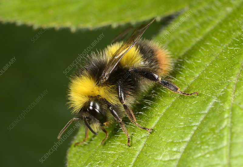 Early bumblebee on a leaf