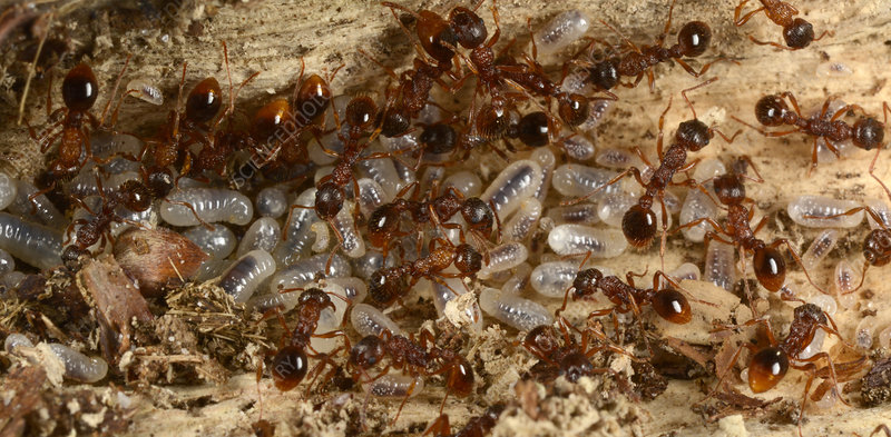 Red ants with larvae