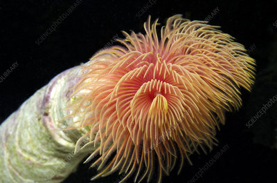 Red fanworm