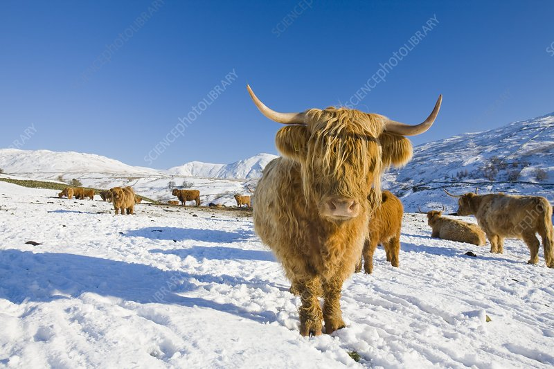 Highland cattle on Kirkstone Pass