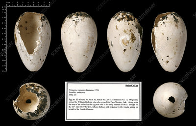 Bullock's great auk egg