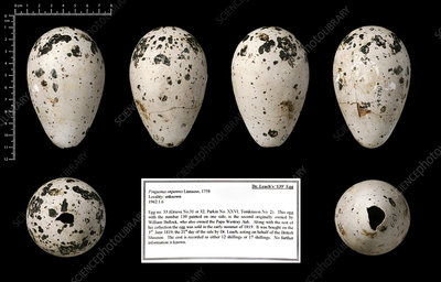Dr Leach's '139' great auk egg