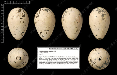 Lord Lilford's great auk egg