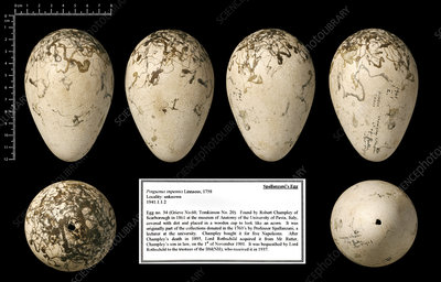 Spallanzani's great auk egg