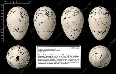 Tristram's great auk egg