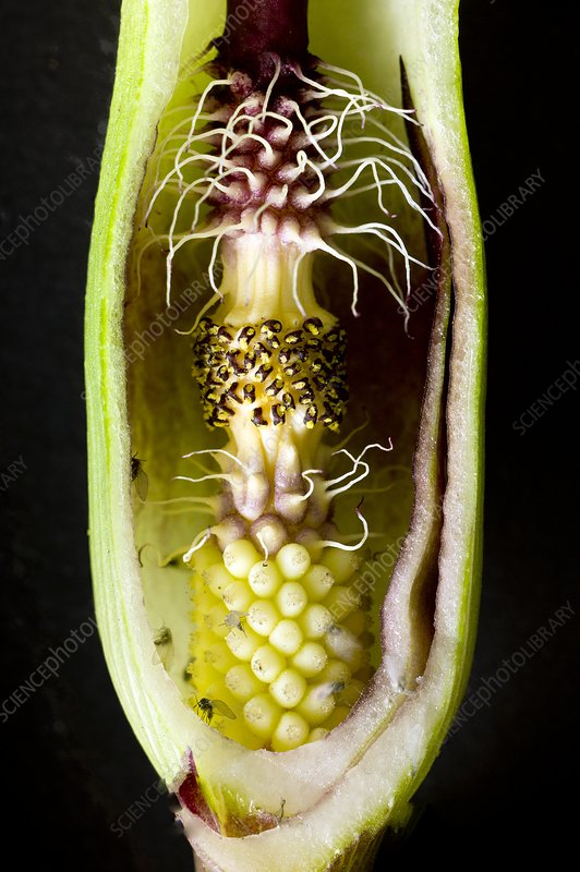 Pollination mechanism of Arum apulum