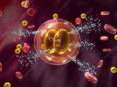 Cell releasing histamine, illustration