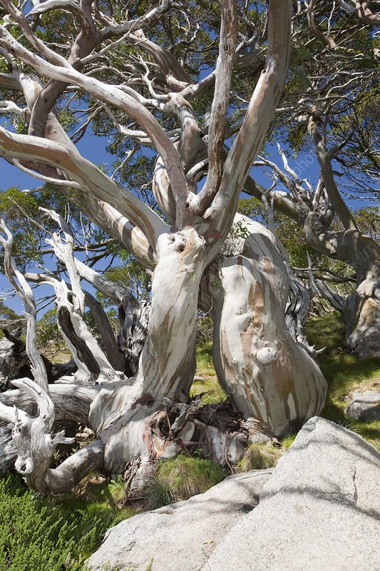 Snow Gum trees in the Snowy Mountains