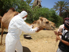 Camel blood sample, MERS research