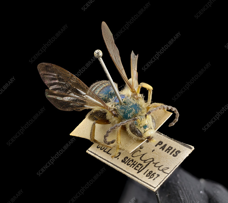 Antique bee specimen