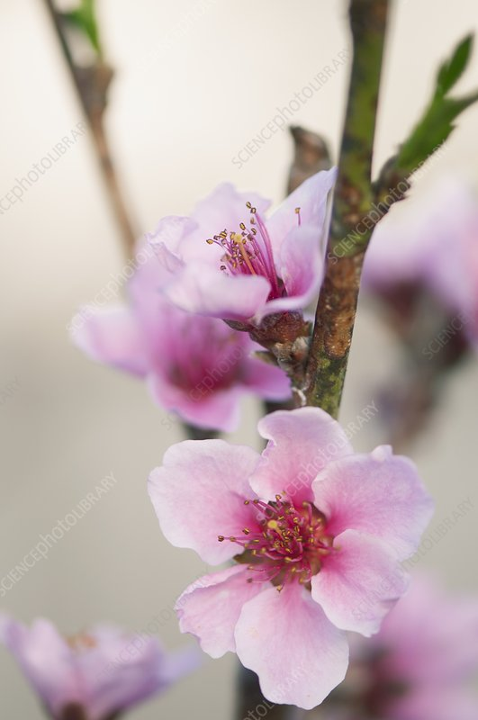 properties of prunus persica linn Pharmacological properties of a protease from ficus hispiad linn  prokinetic  activity of prunus persica (l) batch flowers extract and its possible mechanism .