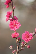 Peach (Prunus persica 'Red Baron')