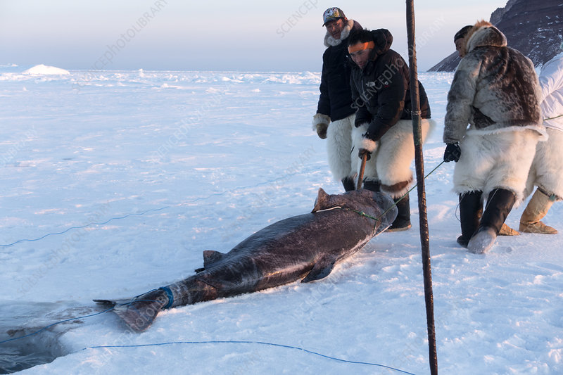 Inuit hunters with Greenland shark