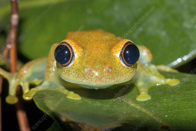 Green bright-eyed tree frog