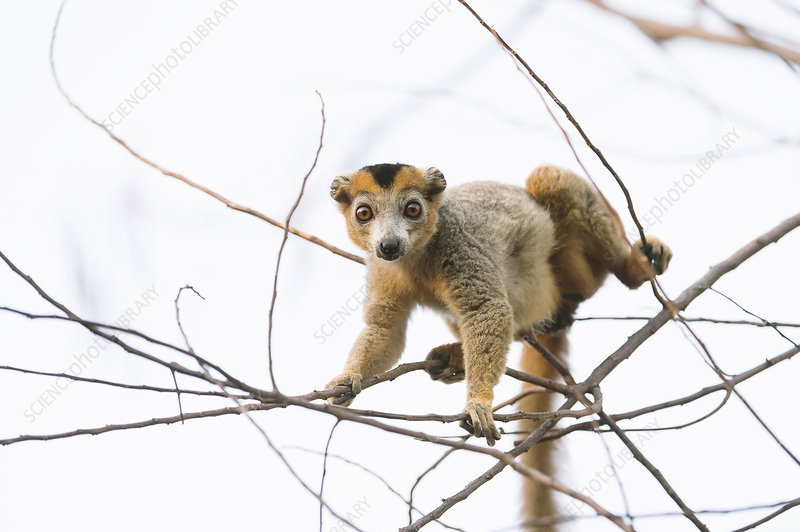 Crowned lemur male