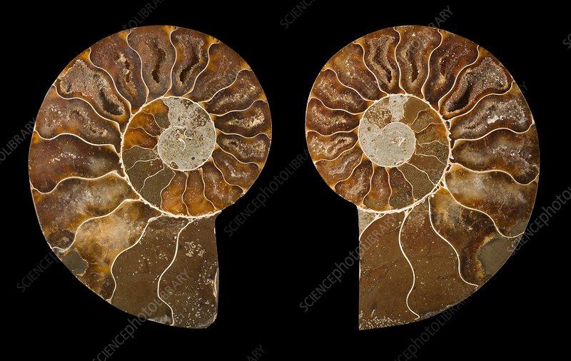 Ceratites ammonite fossil