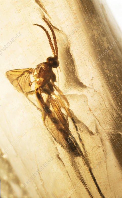 Long-legged fly in amber