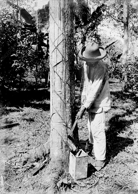 Tapping rubber tree, early 20th century