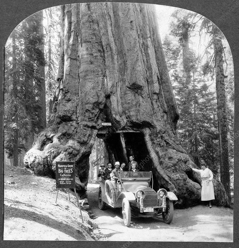 Giant sequoia 'Wawona' tree, 1910s