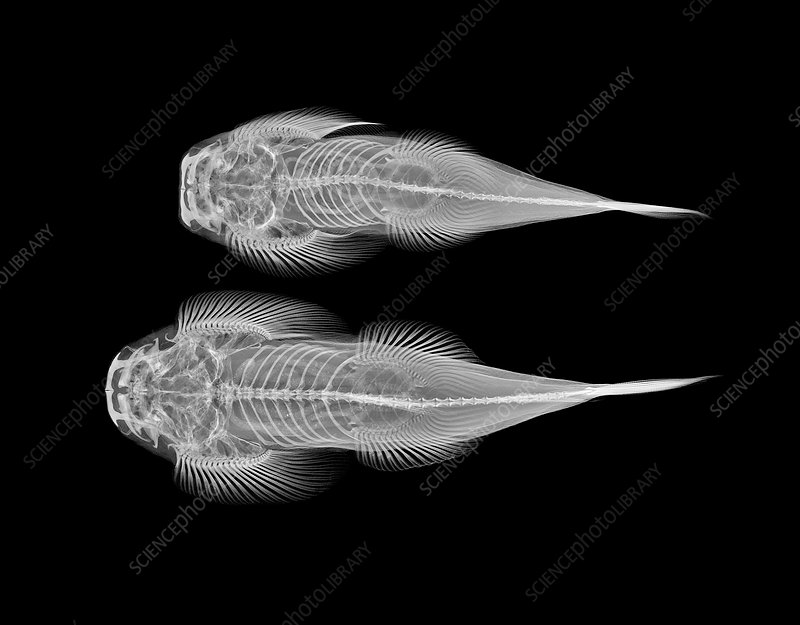 Torrent loaches, X-ray