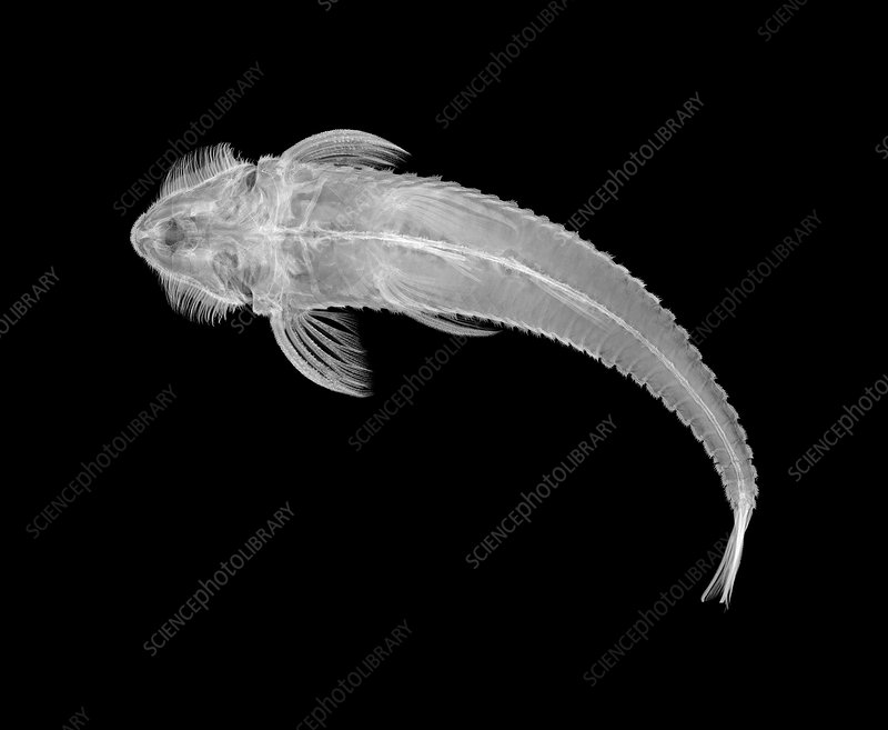Armoured catfish, X-ray