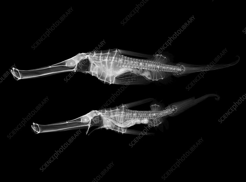 Ghost pipefish, X-ray