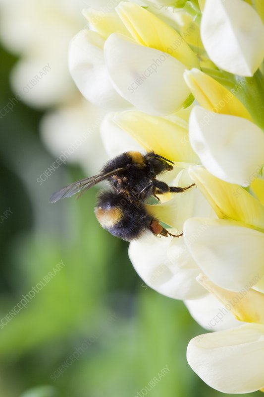 Bumblebee feeding on garden plants