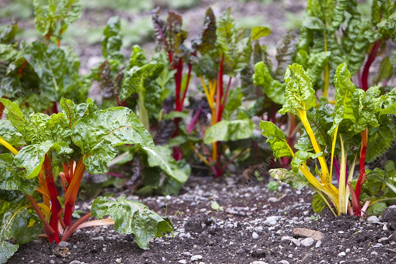 Chard in vegetable garden