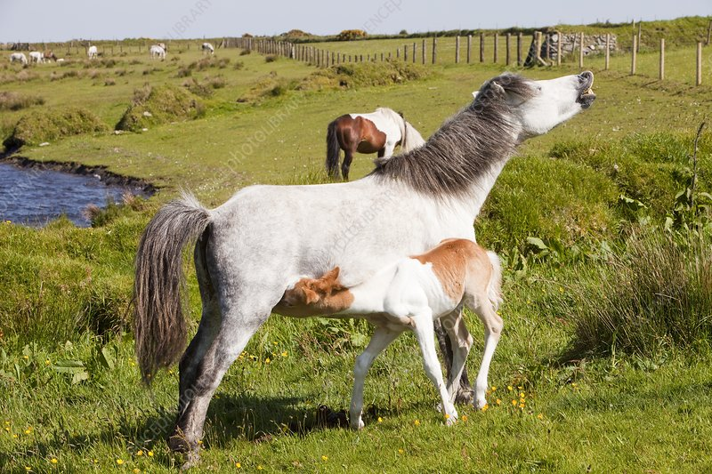 Ponies and foal on Bodmin Moor