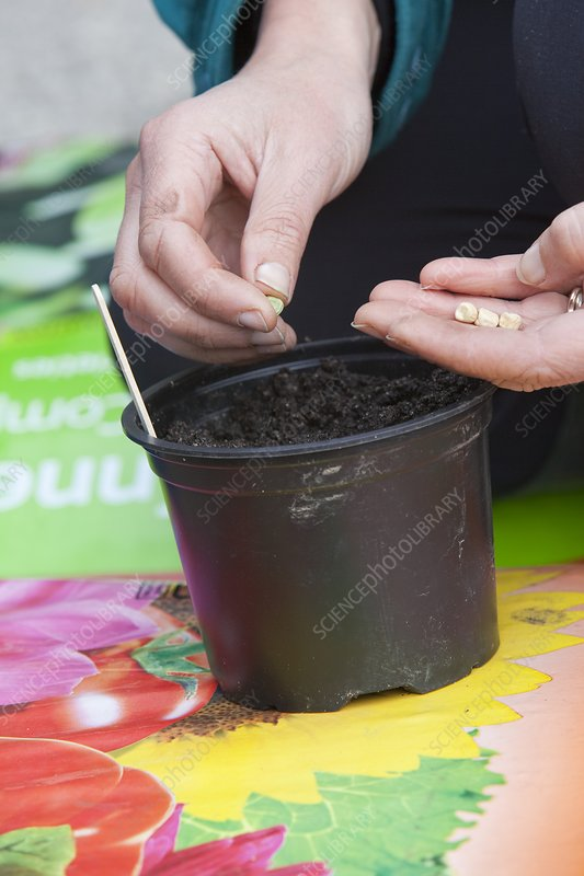 A woman planting vegetable seeds