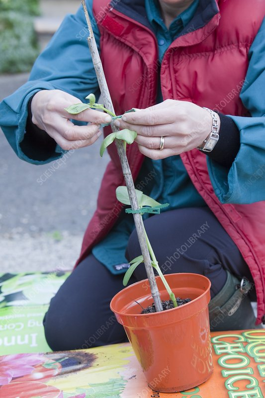 A woman potting on a broad bean plant