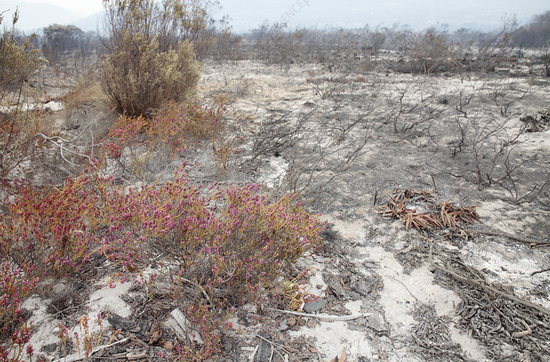 Heather flowers in fire-damaged scrub