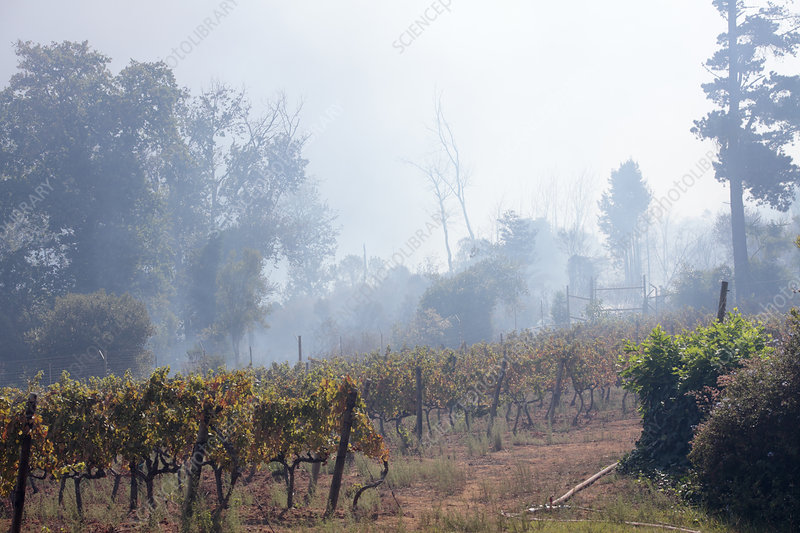 Wildfire smoke in a vineyard